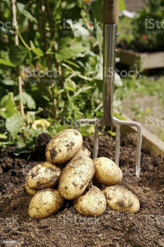 Freshly dug Potatoes... royalty-free stock photo