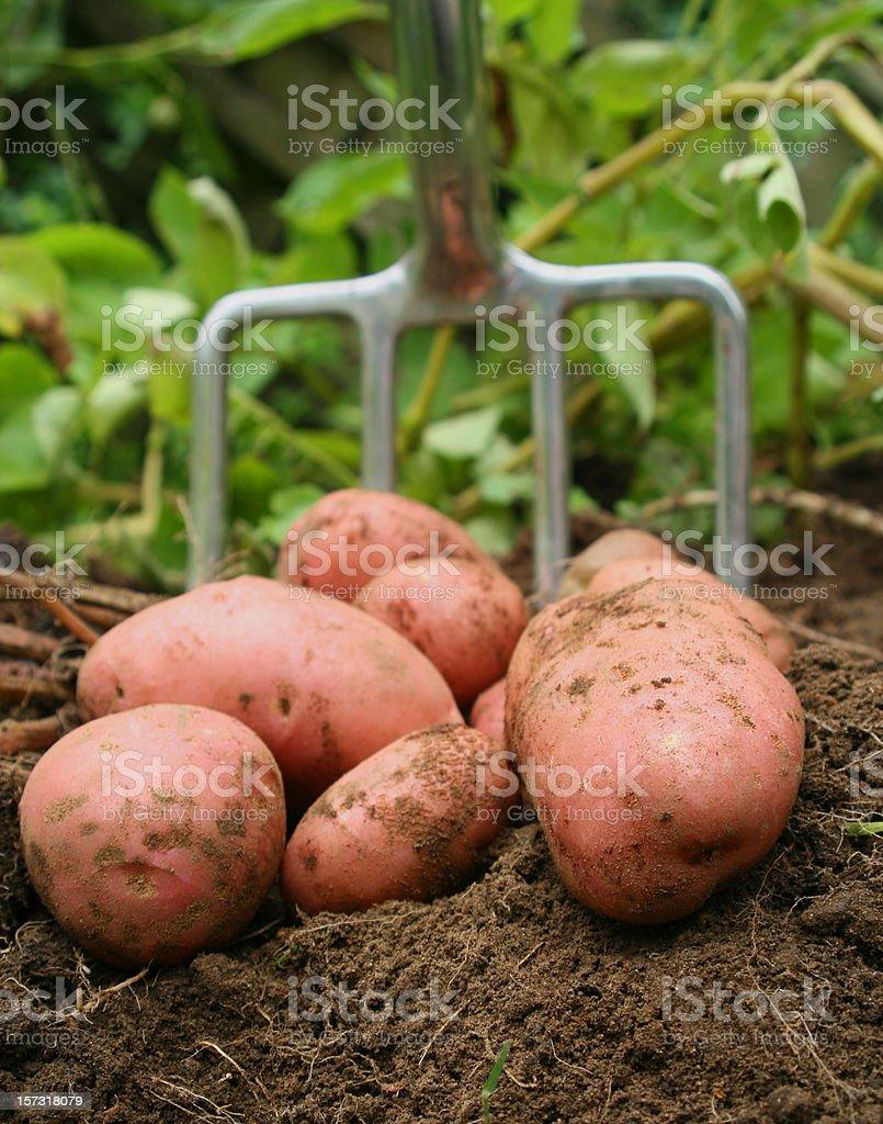 Freshly dug potatos royalty-free stock photo
