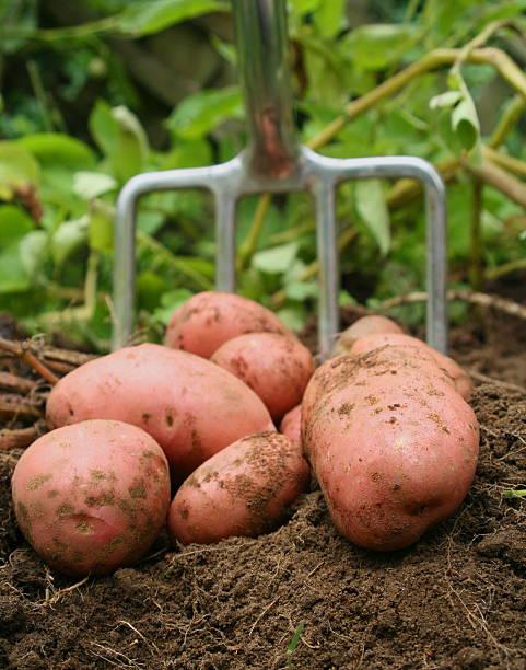 Freshly dug potatos