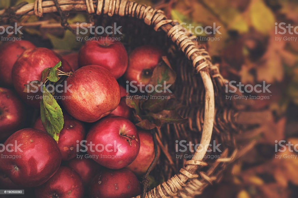 Freshly fallen and picked apples from an apple tree – Foto