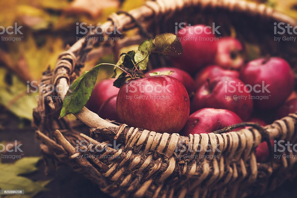 Freshly fallen and picked apples from an apple tree stock photo