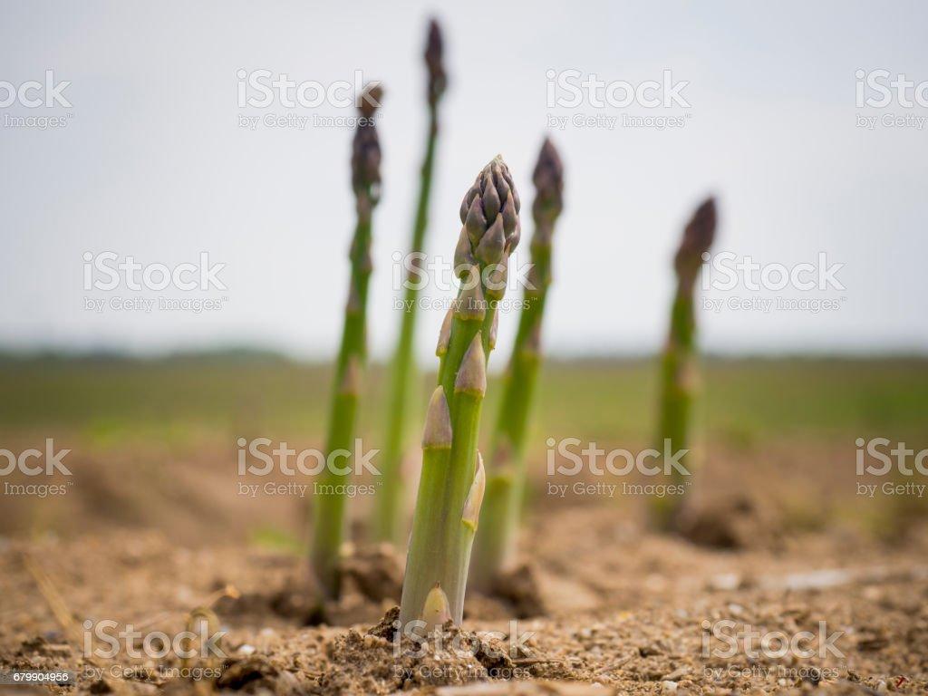 Espárragos recién crecidos - foto de stock