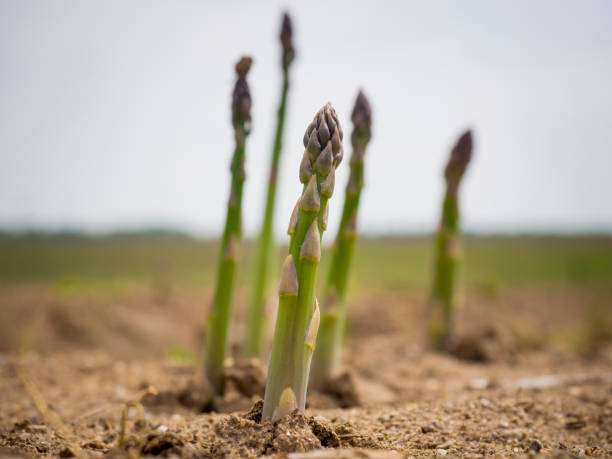 freshly grown asparagus - asparagus stock pictures, royalty-free photos & images