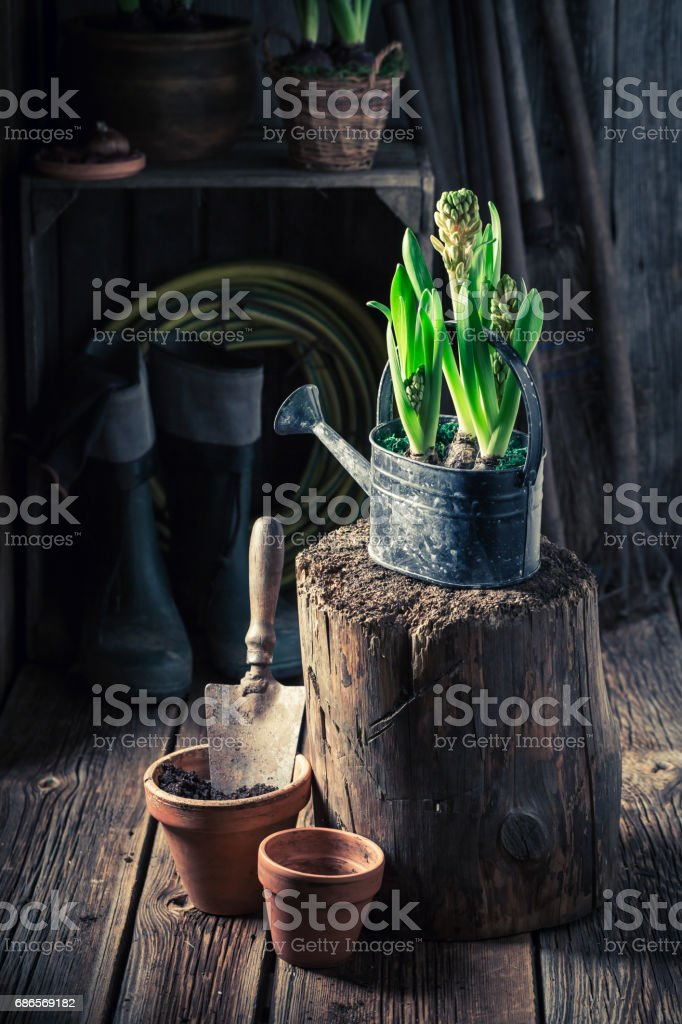 Freshly grown green plants in old wooden cottage royalty-free stock photo
