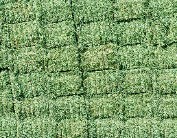 Freshly harvested alfalfa stacked in bales stock photo