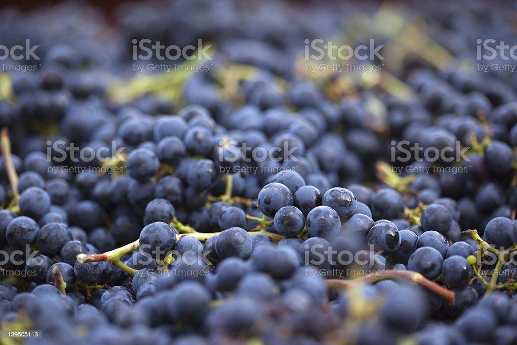 Freshly harvested black grapes stock photo