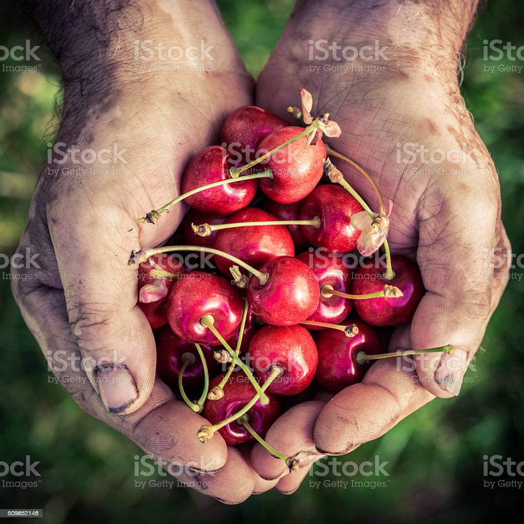 Freshly harvested cherry in hands stock photo