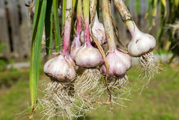 Frisch geernteter Knoblauch Zwiebeln Trocknen bei der Natur. Vegetarische Ernährung – Foto