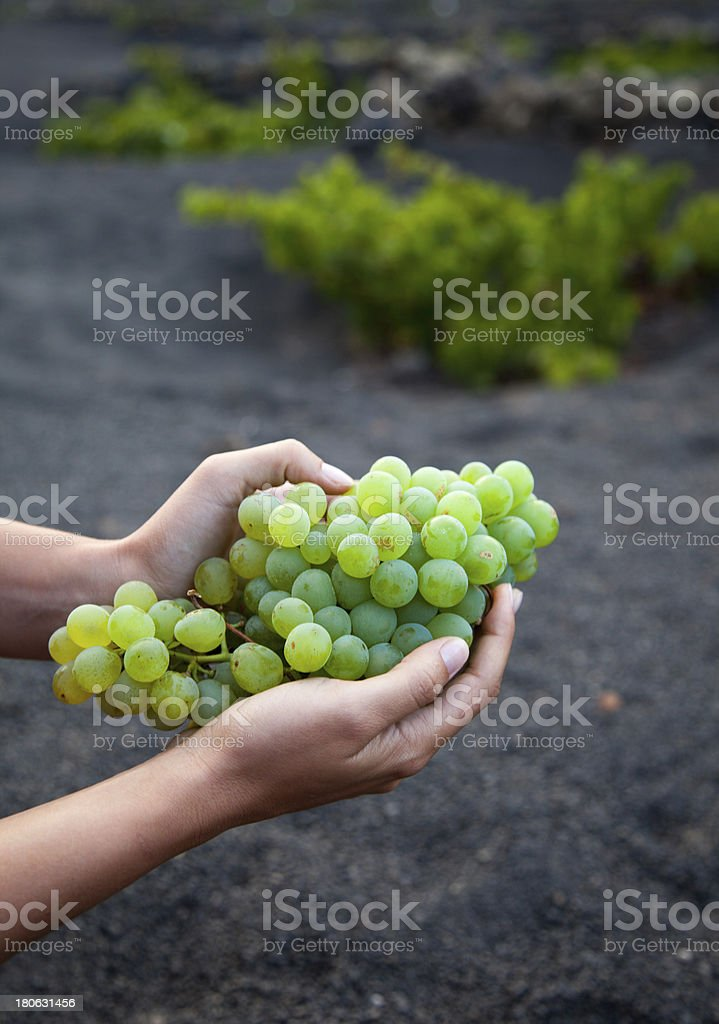 Freshly harvested grapes in Lanzarote royalty-free stock photo