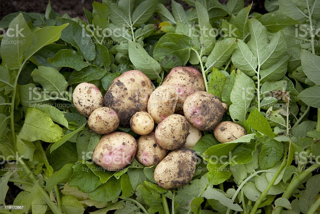 Freshly harvested home grown spuds royalty-free stock photo