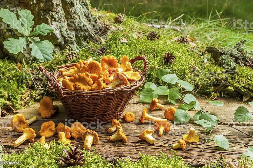 Freshly harvested mushrooms in the wicker basket royalty-free stock photo