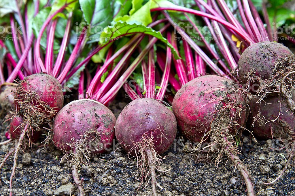 Freshly harvested organic beetroots laying on the ground soil. Beetroots. stock photo