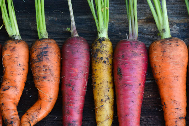 frisch geerntete bio regenbogen karotten - karotten gesund stock-fotos und bilder