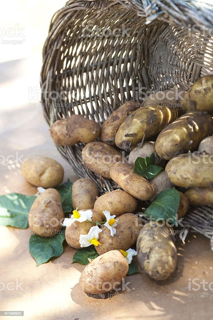 Freshly harvested potatoes royalty-free stock photo