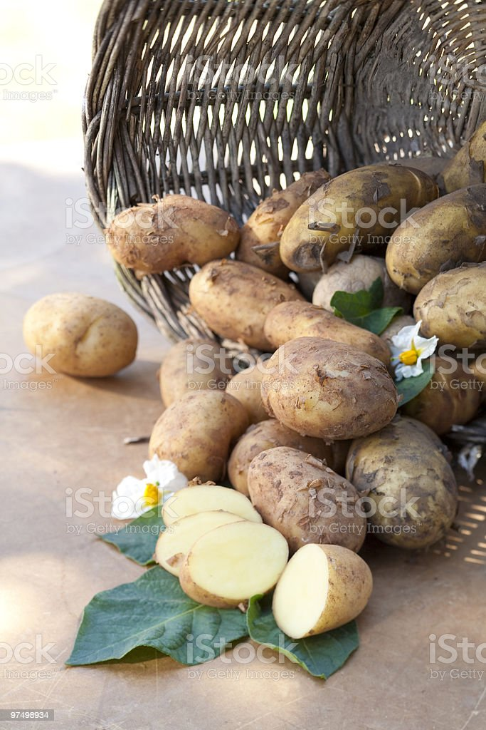 Freshly harvested potatoes royalty-free stock photo