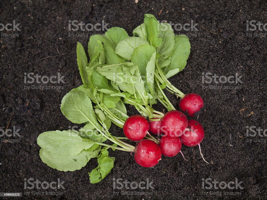 Freshly Harvested Radish ob Garden soil stock photo