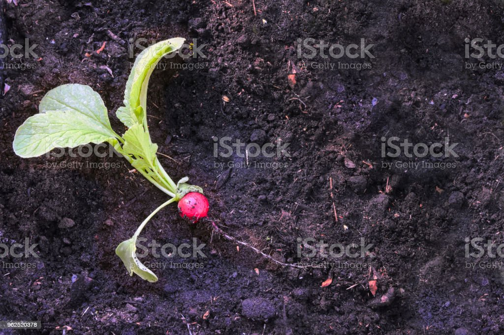 freshly harvested radish on dark brown soil in the vegetable garden, copy space - Royalty-free Agriculture Stock Photo