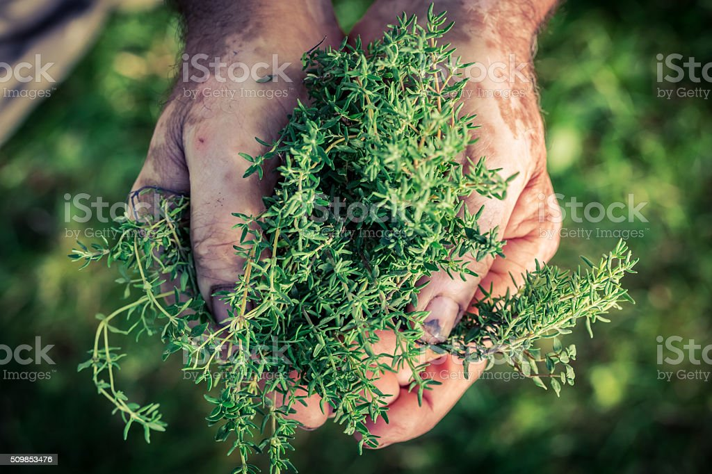 Freshly harvested thyme in hands stock photo