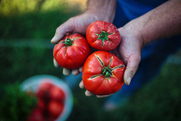 Freshly harvested tomatoes in farmers hands Tomato harvest. Farmers hands with freshly harvested tomatoes homegrown produce stock pictures, royalty-free photos & images