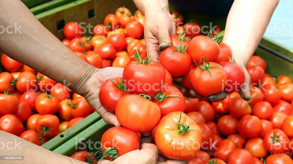 Recién probar tomates - foto de stock