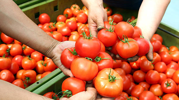 Freshly Harvested Tomatoes Human hands holding fresh ripe tomatoes. Selective focus. food warehouse stock pictures, royalty-free photos & images