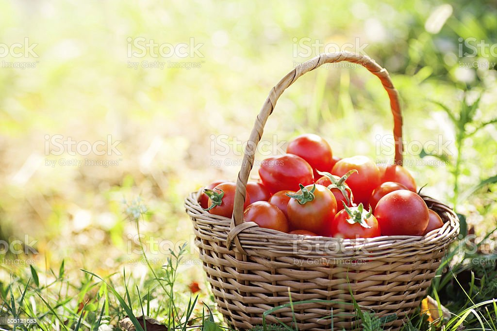 Freshly harvested tomatoes stock photo