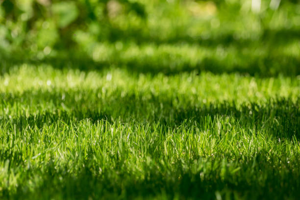 Freshly mowed lawn in the sunlight stock photo