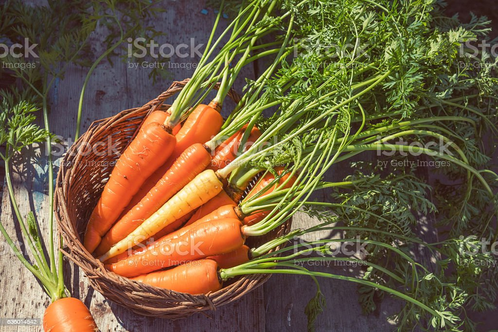 Freshly picked carrots in a basket royalty-free stock photo