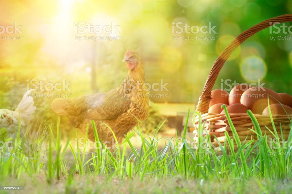 Freshly picked eggs in basket on the field with chickens stock photo