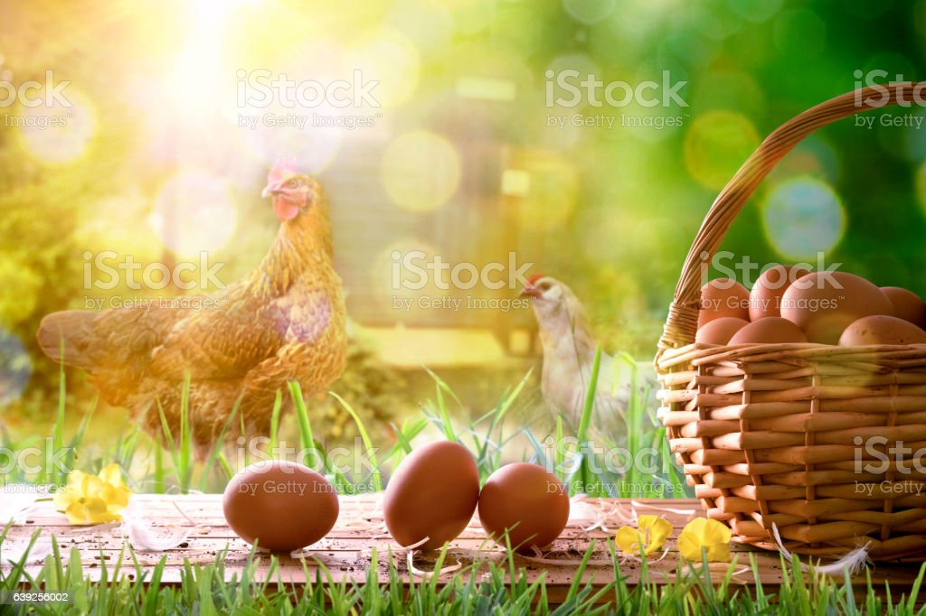 Freshly picked eggs in wicker basket and field with chickens stock photo