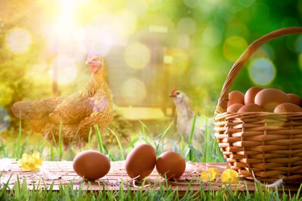 freshly picked eggs in wicker basket and field with chickens - frigående bildbanksfoton och bilder