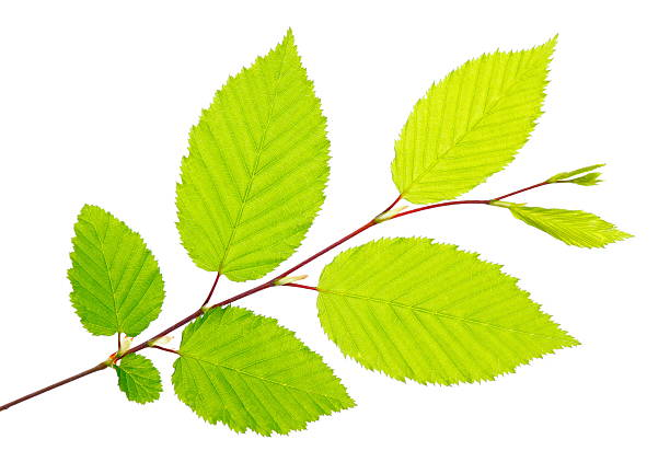 Freshly picked green leaves on a twig Branch with bright green leaves on white background. beech tree stock pictures, royalty-free photos & images