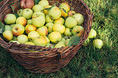 Freshly picked organic apples in big wicker basket on the green grass at the garden. Harvest concept.