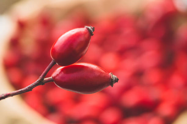 Freshly picked rose hips. Rose hip commonly known as the dog rose Freshly picked rose hips. Rose hip commonly known as the dog rose (Rosa canina). dog rose stock pictures, royalty-free photos & images