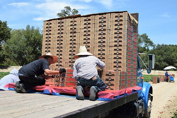 Freshly picked strawberries are readied for shipping. stock photo