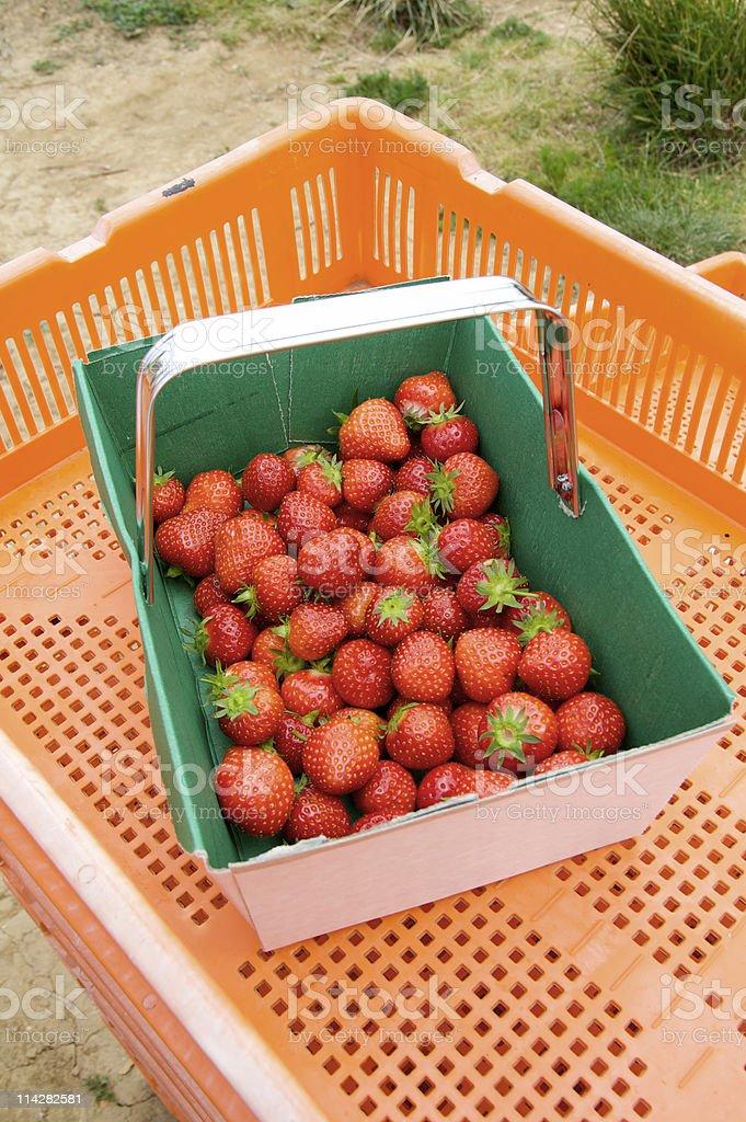 Freshly Picked Strawberries... stock photo