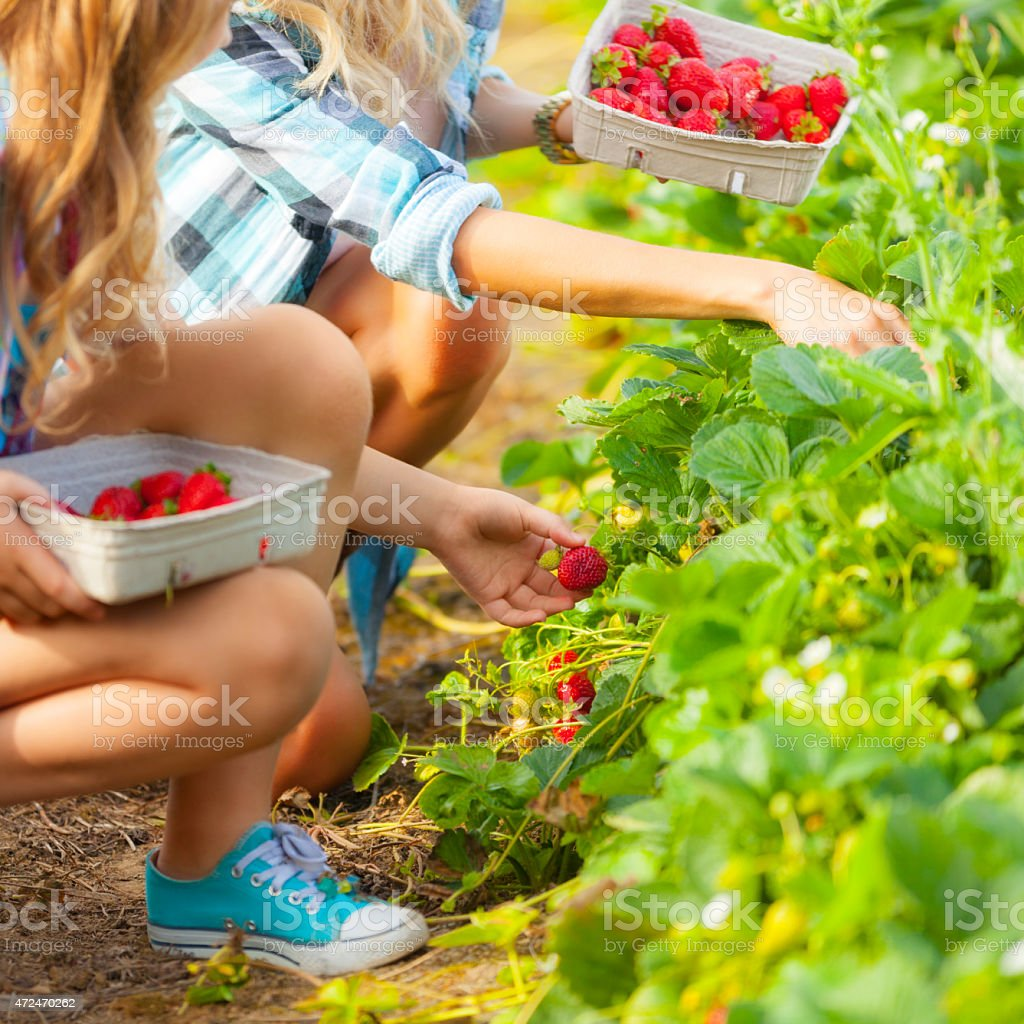 Freshly Picked Strawberries stock photo