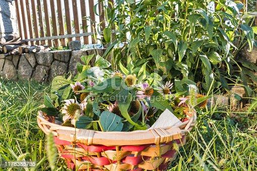 Freshly Picked Up Medical Plant of Echinacea Angustifolia