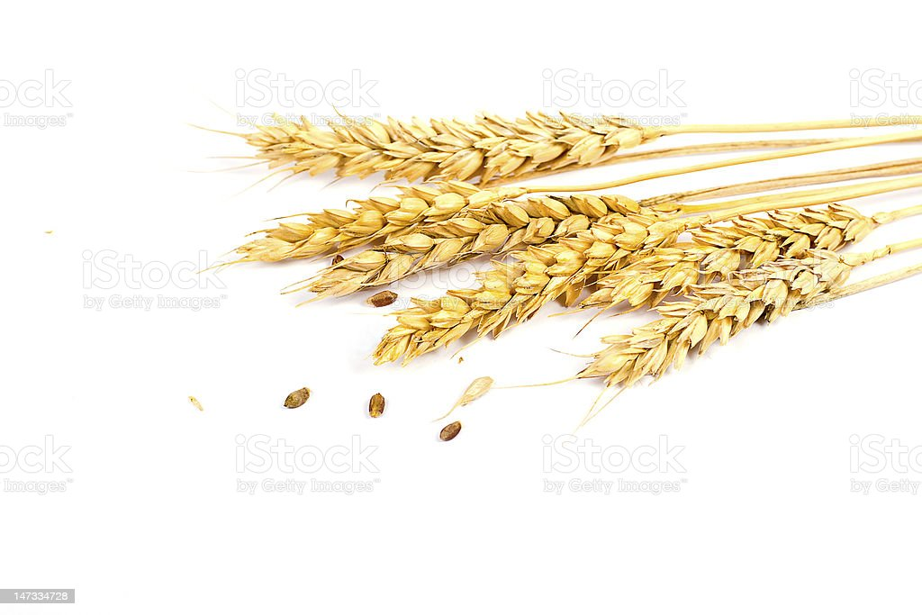 Freshly picked wheat ears on white background stock photo