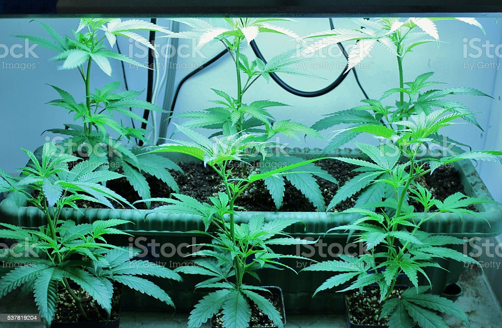 Freshly Planted Marijuana Clones These small marijuana plants were grown as 'clones' of another plant. The procedure is common to gardeners of all specialties. These clones were snipped and given time to develop roots before planting. As the small plants grow the light above them will be raised to give the most intense brightness without allowing the leaves to make contact with the lamp. Alternative Medicine Stock Photo