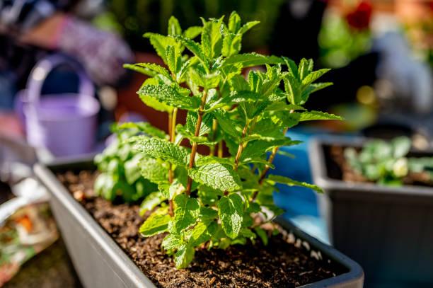 Frisch gepflanzte Minze im Topf – Foto