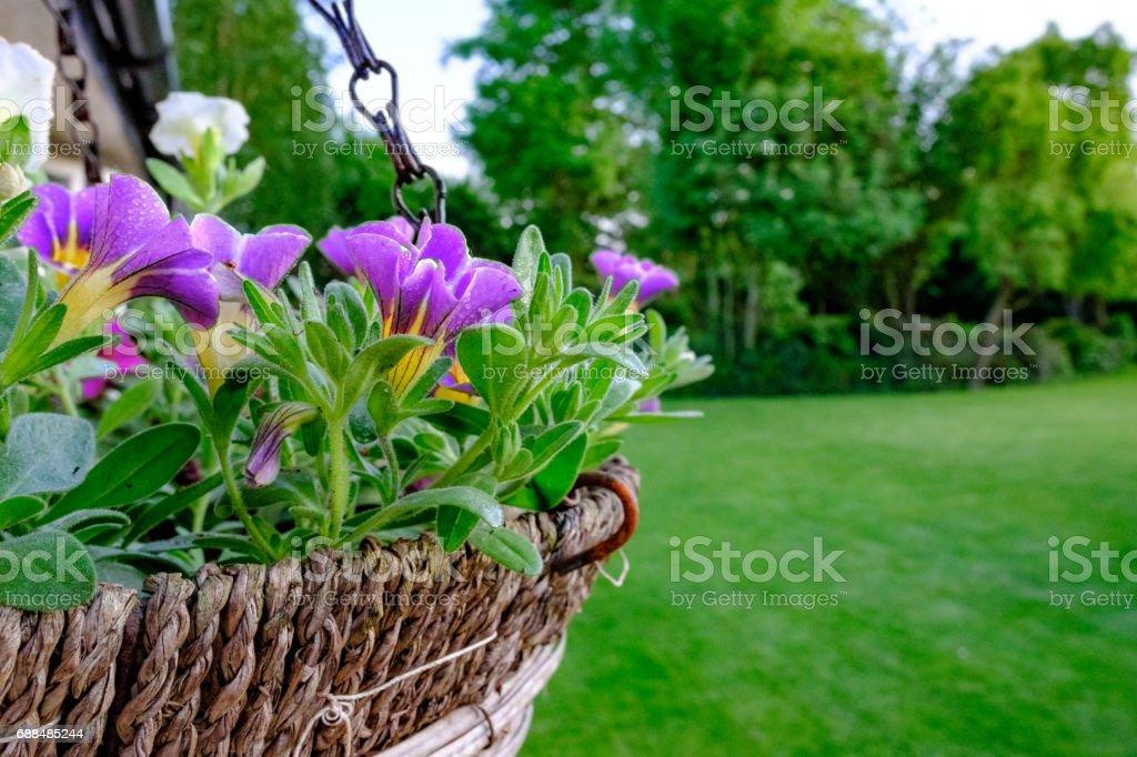 Freshly prepared summer flowers seen in a home-made hanging basket. – Foto