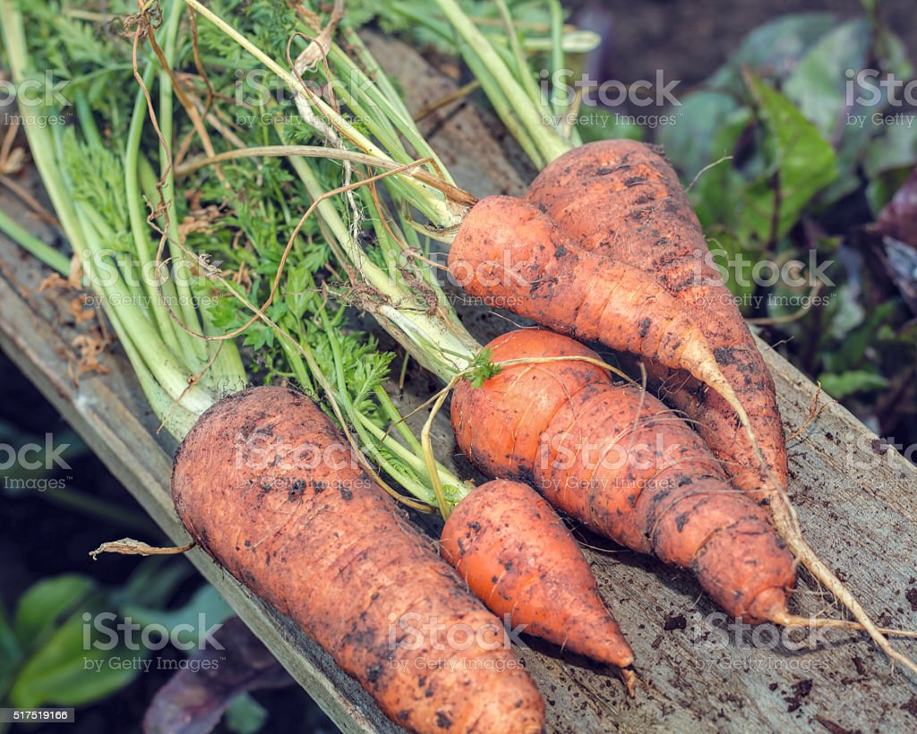 Freshly Pulled Organic Carrots. Vegetable Garden Home Grown Produce. stock photo