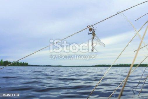 istock Freshly slipped dragonfly with larva skin on forest lake background 494511113