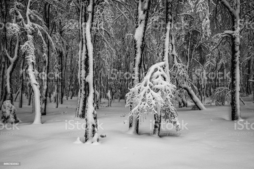 Freshly snow covered trees stock photo