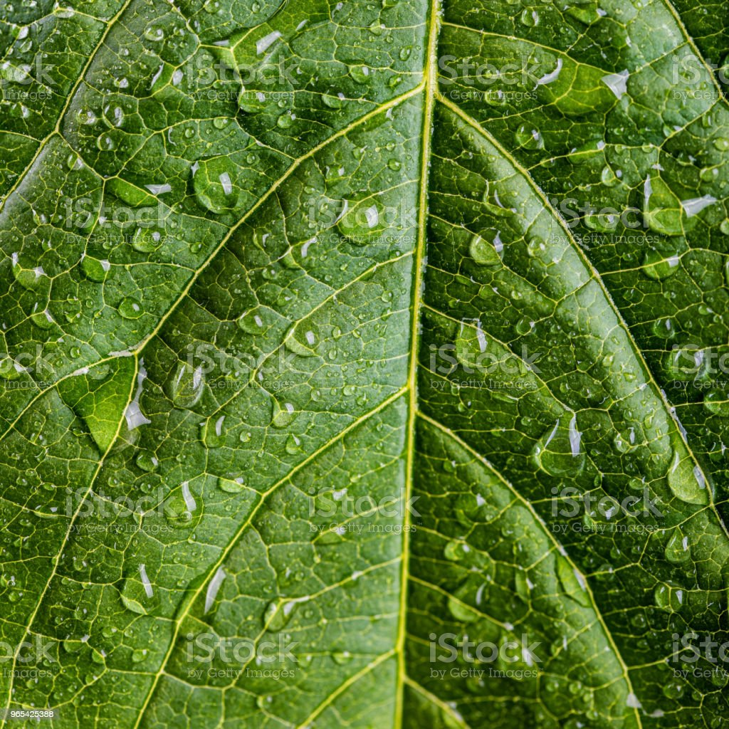 freshness concept - water drops on green leaf zbiór zdjęć royalty-free