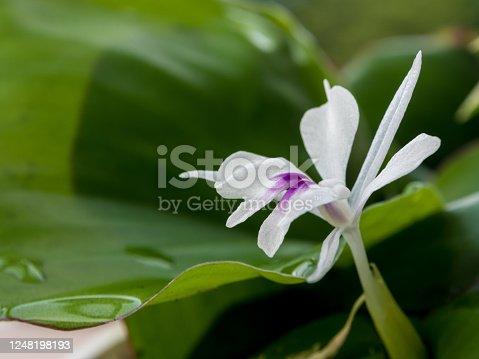 Freshness green leaves and white petal of Aromatic ginger flower