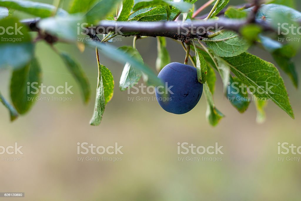 Freshness plum growth on tree stock photo
