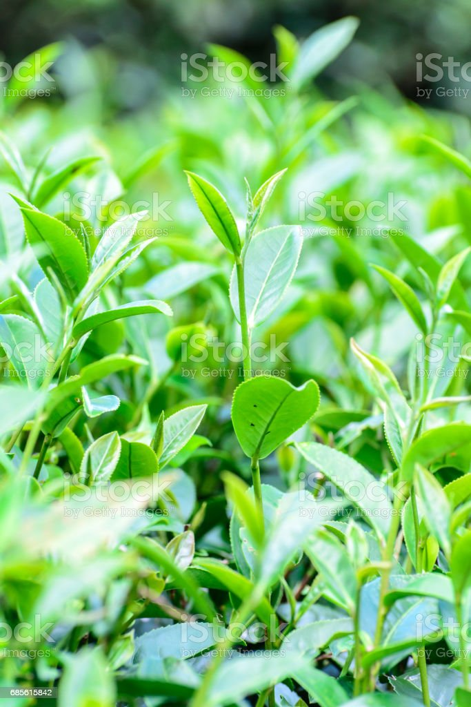 Freshness tea top in plantation. royalty-free 스톡 사진