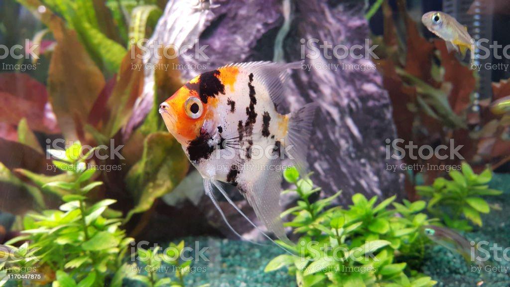 Freshwater Angelfish Beautiful Fish In Aquarium Stock Photo Download Image Now Istock